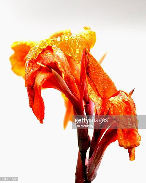 canna - canna lily stock pictures, royalty-free photos & images
