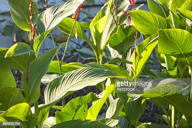 canna plant - canna lily stock pictures, royalty-free photos & images
