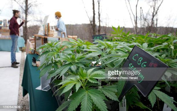 Cannabigerol, or CBG, seedling at a vendorÄôs table outside of Sea Weed Co. In South Portland, which held a bazaar with various vendors, food trucks...
