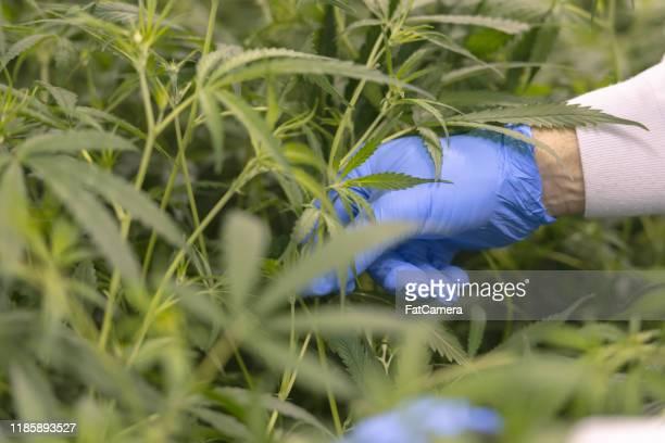 大麻は合法的にストック写真を収穫されています - カンナビスサティバ ストックフォトと画像