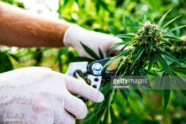 cannabis being harvested on a marijuana farm - cannabis plant stock photos and pictures