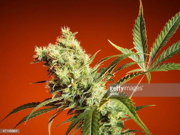 Cannabis Bud - Nebula
