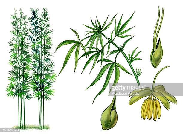 Cannabis by Giglioli E 20th Century ink and watercolour on paper Whole artwork view Drawing of the plant and the flower of Cannabis