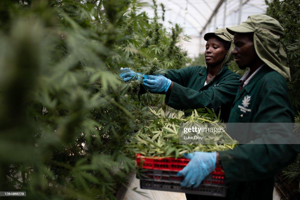Uganda Sows Seeds Of Medical Marijuana Industry : Foto di attualità