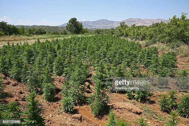 A cannabis field is seen as the members of the 'Flag14 Martyred Gendarme Lieutenant Abdulselam Ozatak Joint Special Forces' destroy cannabis fields...