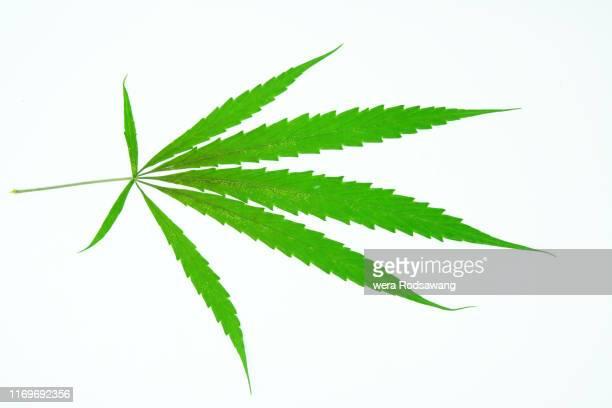 cannabis fresh leaf - marijuana leaf stock pictures, royalty-free photos & images
