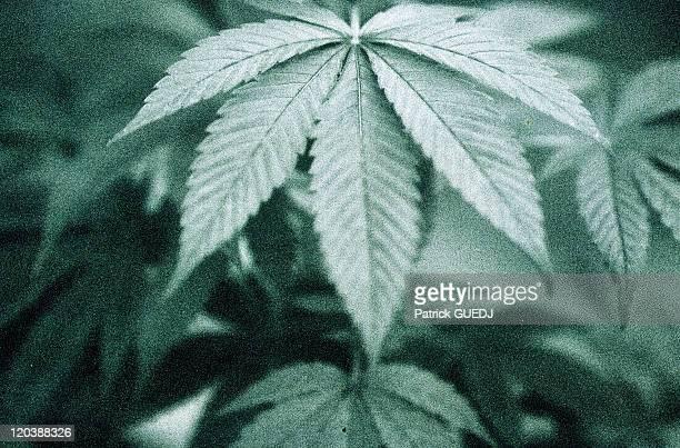 Cannabis Herb Catalog Buzz