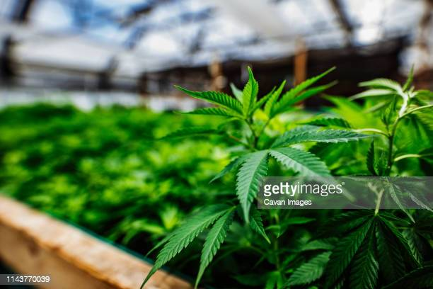 cannabis homegrown in a greenhouse - 大麻草 ストックフォトと画像