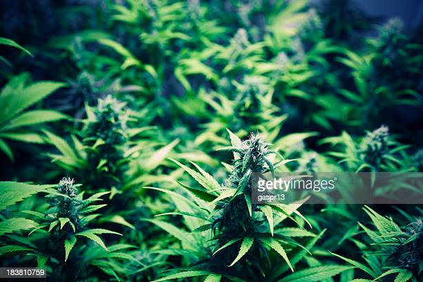 cannabis lab - marijuana stock photos and pictures