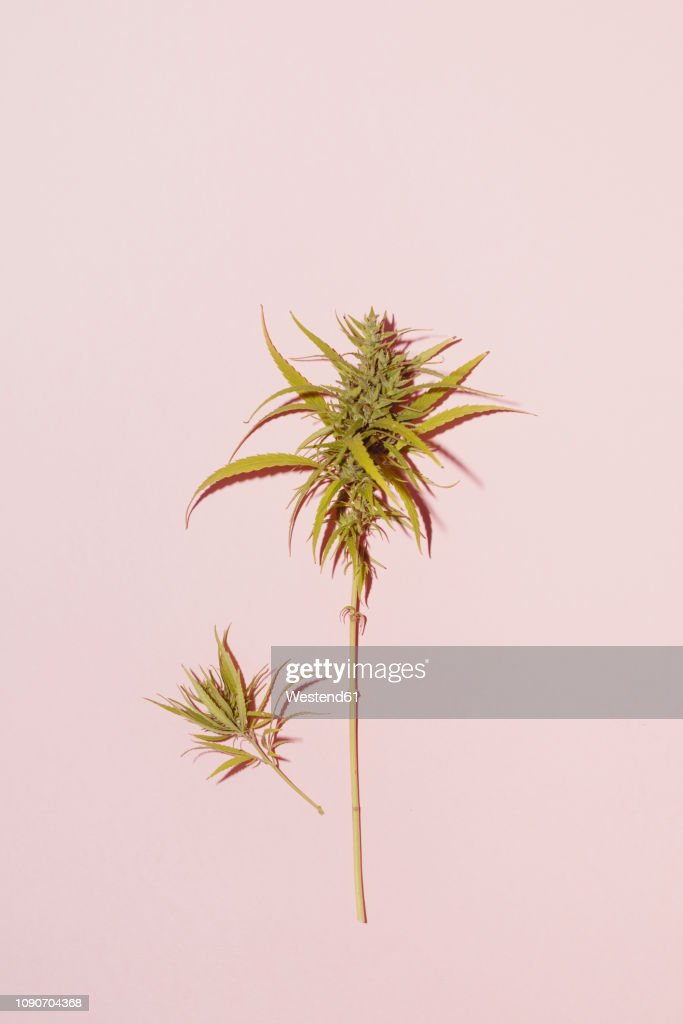 Cannabis leaf on pink background, copy space : Foto de stock