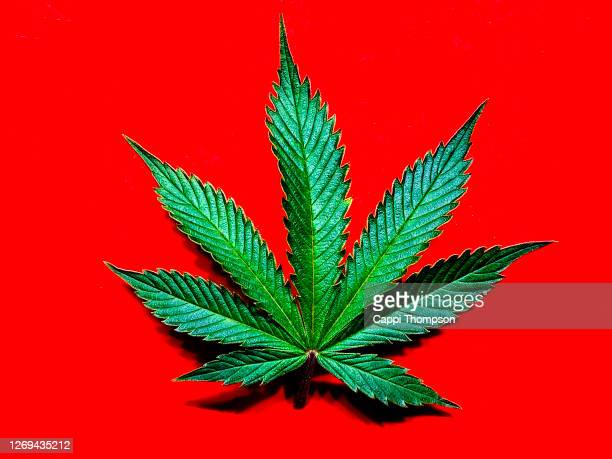 cannabis leaf over a bright red background - légalisation photos et images de collection