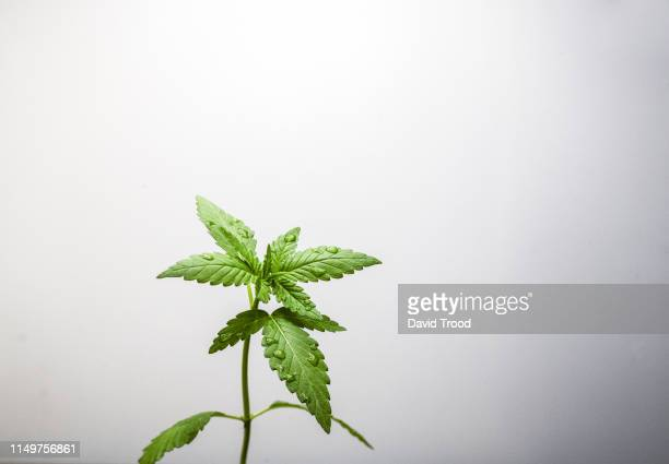 cannabis leaf - hemp stock pictures, royalty-free photos & images