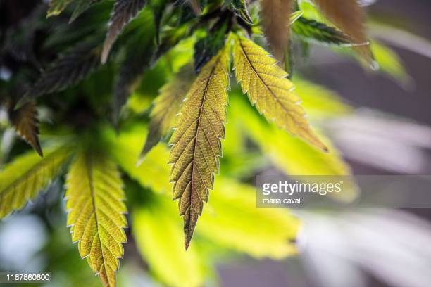 cannabis leafs - marijuana leaf stock pictures, royalty-free photos & images