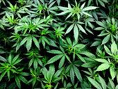 Cannabis Leaves on Marijuana Plant