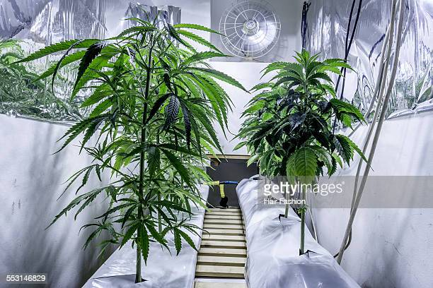 Cannabis plant growing