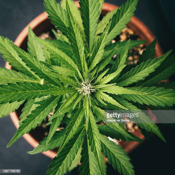 cannabis plant in pot - flowering plant stock pictures, royalty-free photos & images