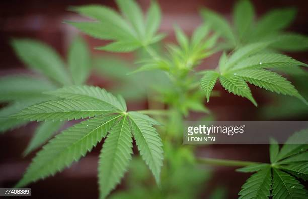 A cannabis plant is pictured in London 08 October 2007 Cannabis is known as marijuana or ganja in its herbal form and hashish in its resinous form...