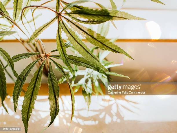 cannabis plant leaves in sunlight, casting shadows - cbd oil stock pictures, royalty-free photos & images