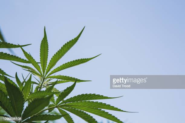 cannabis plant - hemp stock pictures, royalty-free photos & images