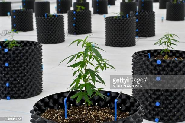 Cannabis plants are seen at the Government Pharmaceuticals Organisation medicinal marijuana greenhouse outside Chon Buri, south of Bangkok on October...