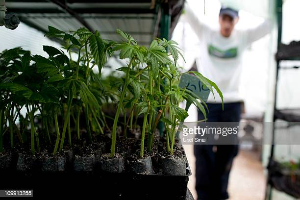 Cannabis plants at the growing facility of the Tikun Olam company on March 7 2011 near the northern city of Safed Israel In conjunction with Israel's...