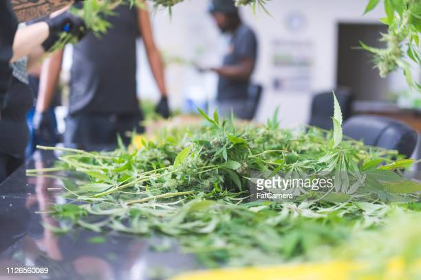 cannabis plants being pruned in a grow facility - hemp stock pictures, royalty-free photos & images