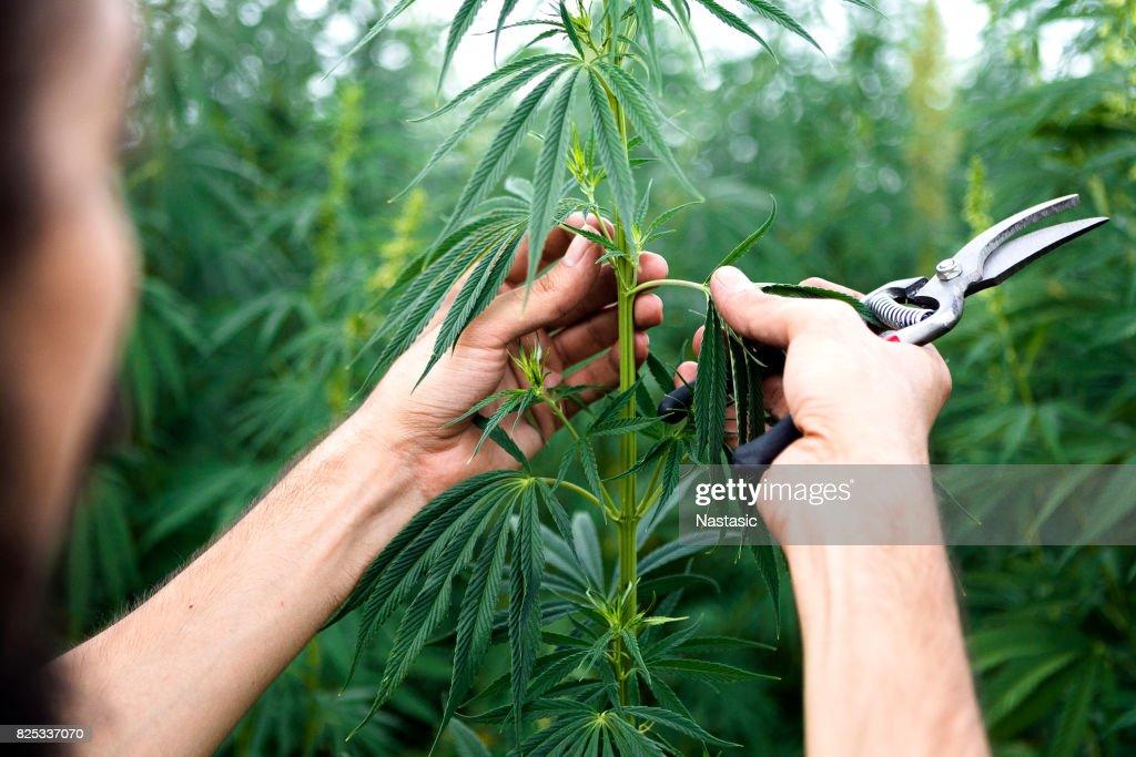 Exemination de plantas de cannabis : Foto de stock