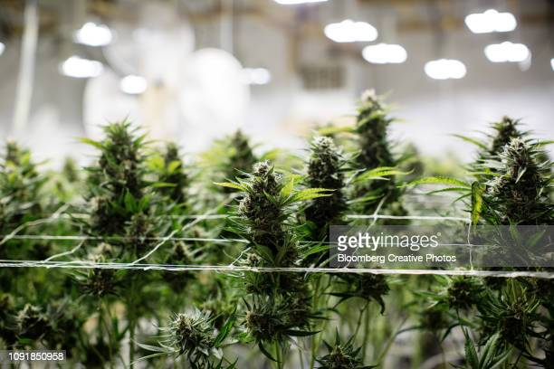 cannabis plants grow at a craft grow operation - medical cannabis stock pictures, royalty-free photos & images