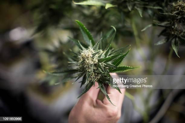 cannabis plants grow at a craft grow operation - plant de cannabis photos et images de collection