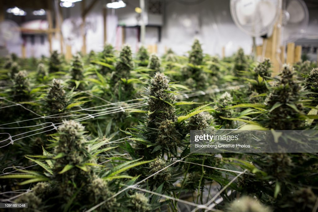 Cannabis plants grow at a craft grow operation : Stock Photo