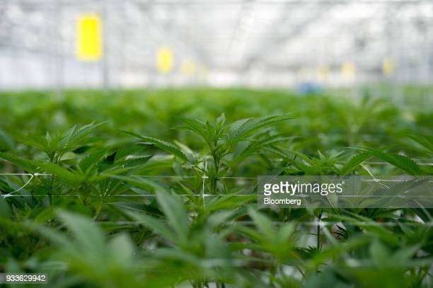Cannabis plants grow in a greenhouse at the 7ACRES facility in Tiverton Ontario Canada on Tuesday March 13 2018 Leaders in the Senate have reached a...