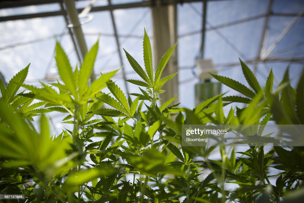 Cannabis plants grow in a greenhouse at the CannTrust Holding Inc. Niagara Perpetual Harvest facility in Pelham, Ontario, Canada, on Wednesday, July 11, 2018. Canadian pot stocks have had a wild ride in the past year with the BI Canada Cannabis Competitive Peers Index surging about 250 percent from October to December as the road to legalization became clearer in Canada, before dropping by about 36 percent this year. Photographer: Cole Burston/Bloomberg via Getty Images