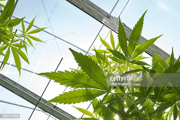 Cannabis plants grow in the greenhouse at Vireo Health's medical marijuana cultivation facility August 19 2016 in Johnstown New York New York state...