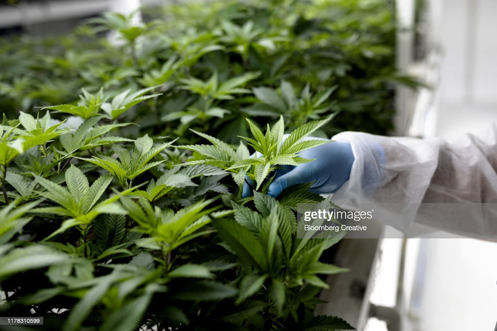Cannabis Plants Grow Inside A Controlled Environment : Stock Photo