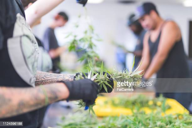 cannabis plants grow under artificial lights - shock tactics stock pictures, royalty-free photos & images