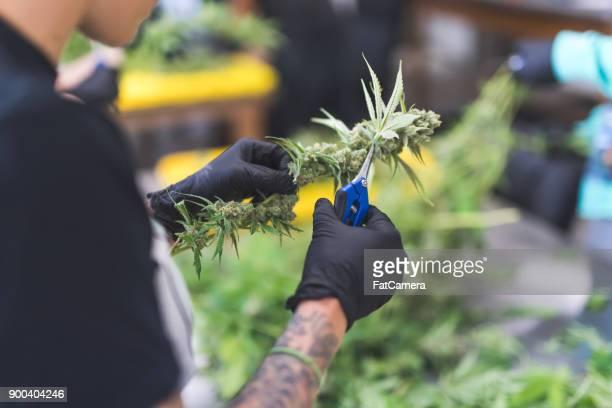 Cannabisplanten groeien onder kunstlicht