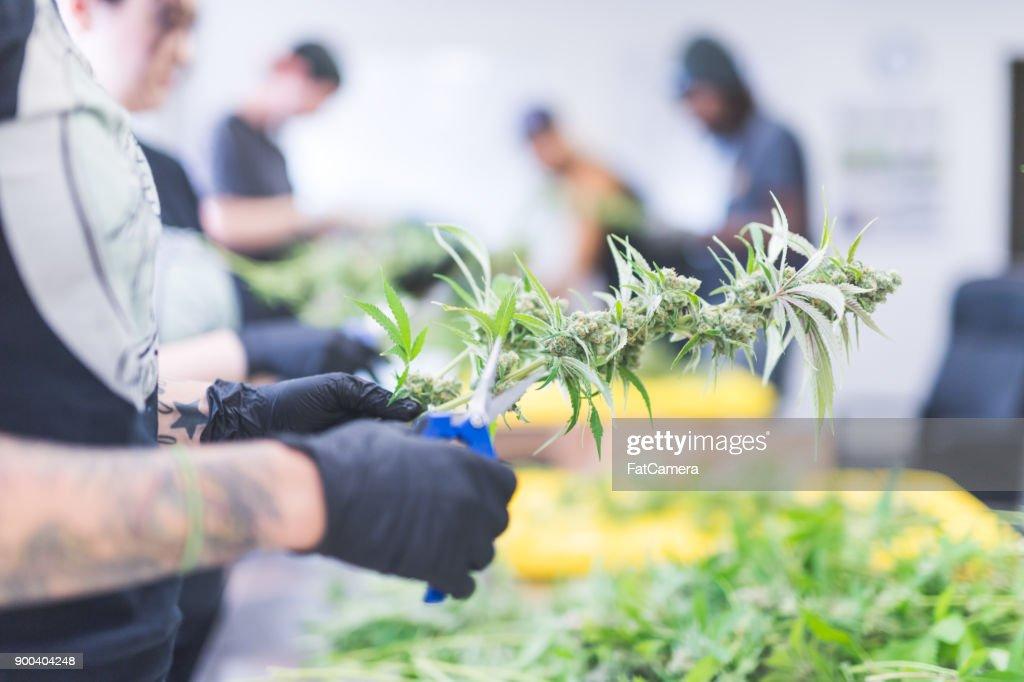Las plantas de cannabis crecen bajo luz artificial : Foto de stock