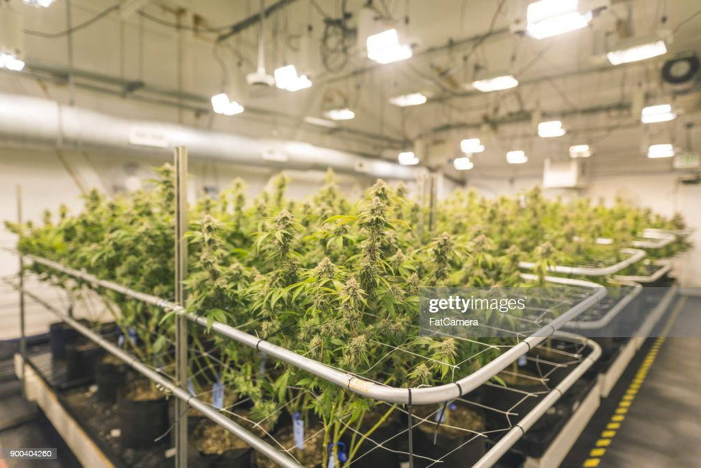 Cannabis plants grow under artificial lights : Stock Photo