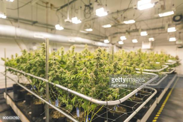 cannabis plants grow under artificial lights - marijuana stock photos and pictures