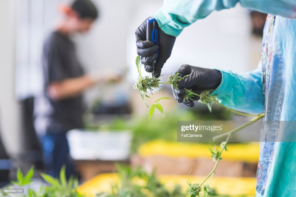 Cannabis plants grow under artificial lights : Stock Photo