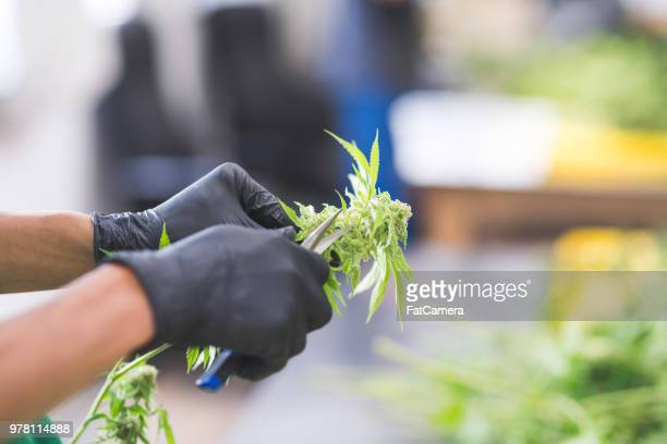 cannabis plants grow under artificial lights - bud stock pictures, royalty-free photos & images