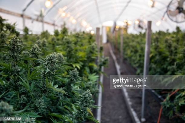 cannabis plants growing in greenhouse - medical cannabis stock photos and pictures