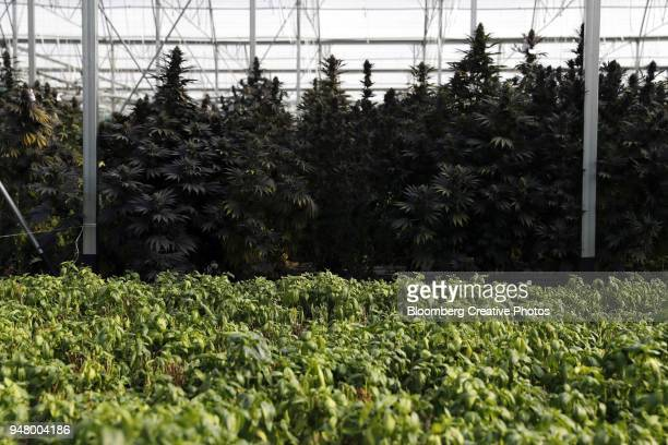 cannabis plants stand behind basil plants inside a greenhouse facility - cannabis oil stock photos and pictures