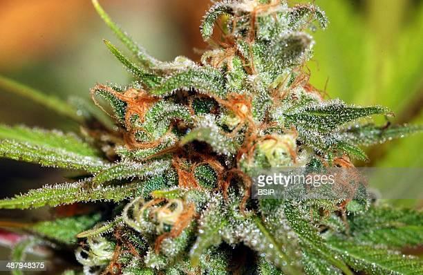 Cannabis Sativa, France.