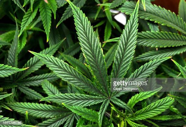 cannabis sativa leaf background - marijuana leaf stock pictures, royalty-free photos & images