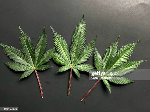 cannabis sativa leafs in a black background - marijuana leaf stock pictures, royalty-free photos & images