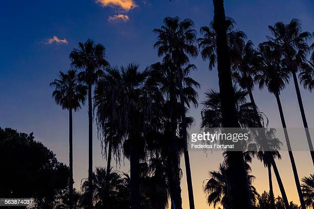 Cannes' croisette with palm trees at sunset