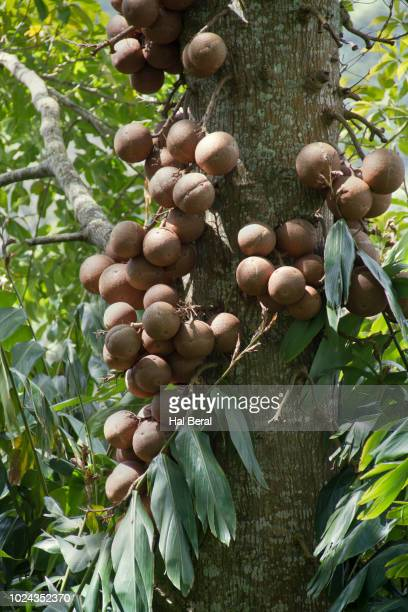 cannonball tree - brazil nut stock photos and pictures