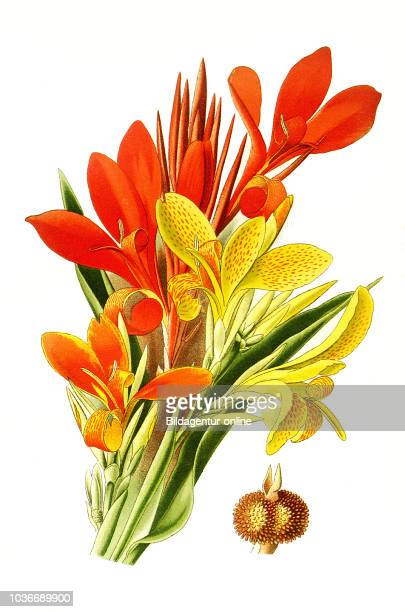 Canny hybrids Indian Shot Canna indica African arrowroot edible canna purple arrowroot Sierra Leone arrowroot Indisches Blumenrohr Essbare Canna...
