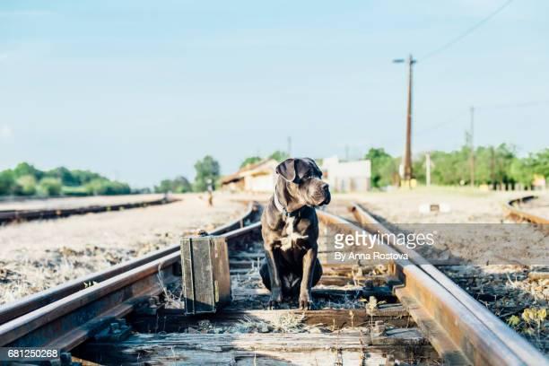 cano corso dog sitting on abandoned railroad track with suitcase - abbandonato foto e immagini stock